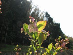 ラビットアイの花